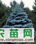 科罗拉多蓝杉种子