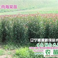 辽宁供应红肉海棠|红叶|垂丝|钻石|红宝石