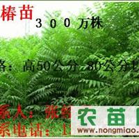 2012香椿苗 大棚�S孟愦幻� 香椿苗基地  1-2米香椿苗