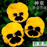 三色堇种子采购,三色堇种子生产,三色堇种子批发
