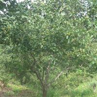 出售山楂树12至15公分  冠形好