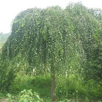 出售垂榆树30多棵
