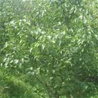 现有2万多棵梨树急于出手