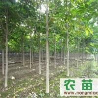 5至10厘米七叶树