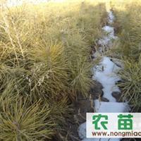 杜松、1.5-3米 樟子松一年生裸根苗 容积袋苗