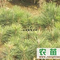 辽宁樟子松 油松
