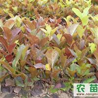 红瑞木 桃叶卫矛 紫丁香 木绣球 多季刺梅 工程苗