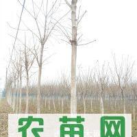 供应6-15cm七叶树