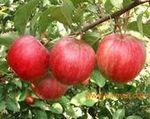 热销寒富苹果苗二刀寒富苹果苗,熊岳苹果苗最大供应商大量提供