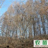 哈尔滨苗圃品质较好的是哪家丨首选哈尔滨高大鹏苗木基地