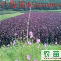 紫叶海棠-新品种紫叶海棠