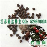 红豆杉种子丨红豆杉苗丨
