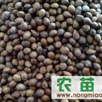 专业供应红豆杉种子 TEL:4006-887-920