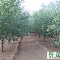供应1-80公分八棱海棠树 15932346284