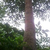 大量出售成品树 广伞枫、富贵树、晃伞枫、幌伞枫、罗伞枫