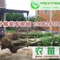 小叶榕盆景,小叶榕绿化树,温州小叶榕批发