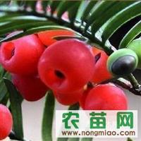 出售当年生红豆杉苗100万、多年生红豆杉30万苗、八十至一