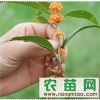 供应自家扦插丹桂小苗10-20公分高2元一株