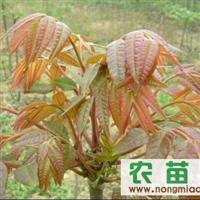 四季速生香椿/香椿芽/香椿种子