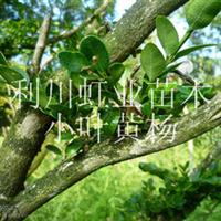 利川高山小叶黄杨雕刻用黄杨原木
