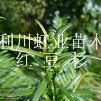 利川红豆杉树红豆杉种子小苗价格