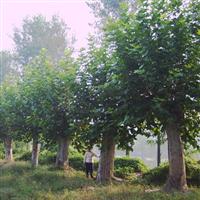 景观苗木法桐价格垂丝海棠价格表