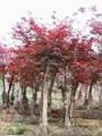 园林绿化红枫价格金叶女贞价格表