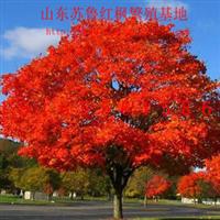 2013美国改良红枫小苗秋火焰