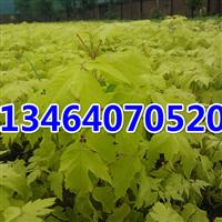 金叶复叶槭,紫叶稠李,五角枫