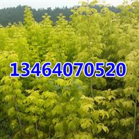 金叶复叶槭,紫叶稠李,红叶李