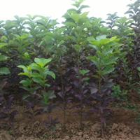 紫叶稠李,加拿大红樱。白桦