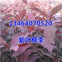 紫叶稠李小苗,加拿大红樱小苗