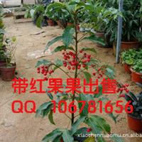 室内盆栽带果果出售富贵子黄金万两财源广进富贵子苗