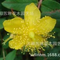 自产自销工程苗金丝梅/云南连翘绿叶黄花可盆栽规格齐全25-50cm