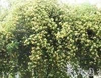 庭院阳台盆栽攀缘花卉-七里香木香花苗香气逼人黄花木香苗