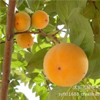柿子树种子新采的种子绿化苗木乔木果树