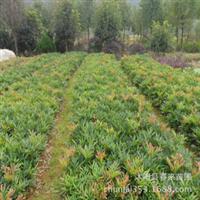 专供绿化苗木十大功劳常绿灌木工程苗十大功劳苗批发价格优惠