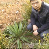 供应:优质绿化灌木剑麻剑麻苗常绿植物剑麻剑麻价格优惠