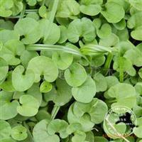 苗圃直销草坪种子马蹄金种子只要80一公斤速来选购数量充足