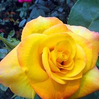 供应1-3年生黄和平月季月季小苗及月季种子批发