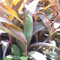 园林绿化苗木、常绿灌木、观叶植物【亮叶朱蕉】