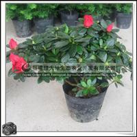 福建绿大地供应|西洋杜鹃花灌木花卉室内观花植物