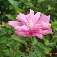 供应·王子锦带花卉苗木、乔木类、灌木类、松杉柏类苗木、草坪等