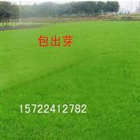 台湾青草坪种子台湾草种台湾青草籽天鹅绒草种子低矮