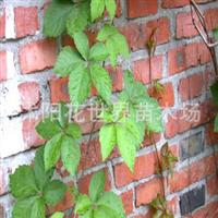 出售藤本植物【五叶地锦】爬山虎爬墙虎规格齐全量大优惠