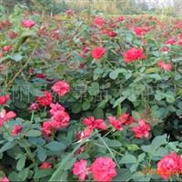 供应北京大红帽、月季种子
