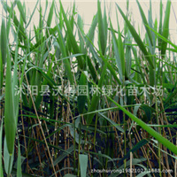 供应-芦苇等花木-苗木绿化苗木