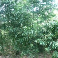 批发供应各种绿化工程苗木花木