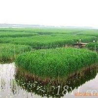 大量批发芦苇种根保土固堤生态水景绿化植物芦苇(图)