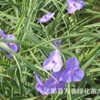 大量供应水生植物紫露草紫鸭趾草紫叶草全国批发水生植物芽